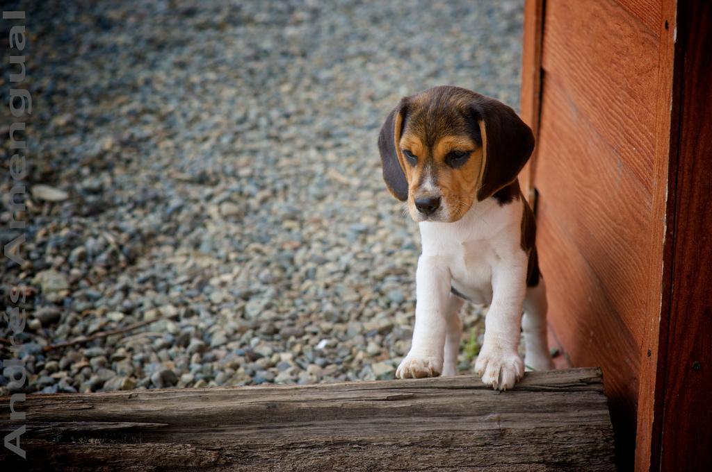 Andres-Amengual-Beagle BEAGLE