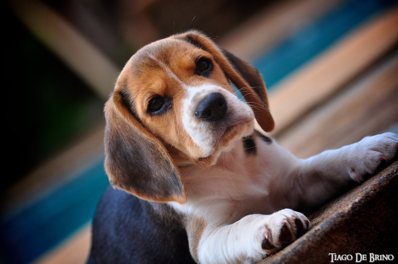 tiagodebrino-beagle BEAGLE