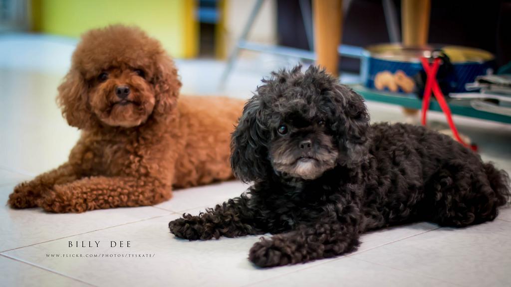 Caniche Gigante Mediano Enano Y Toy Noticias De Perros