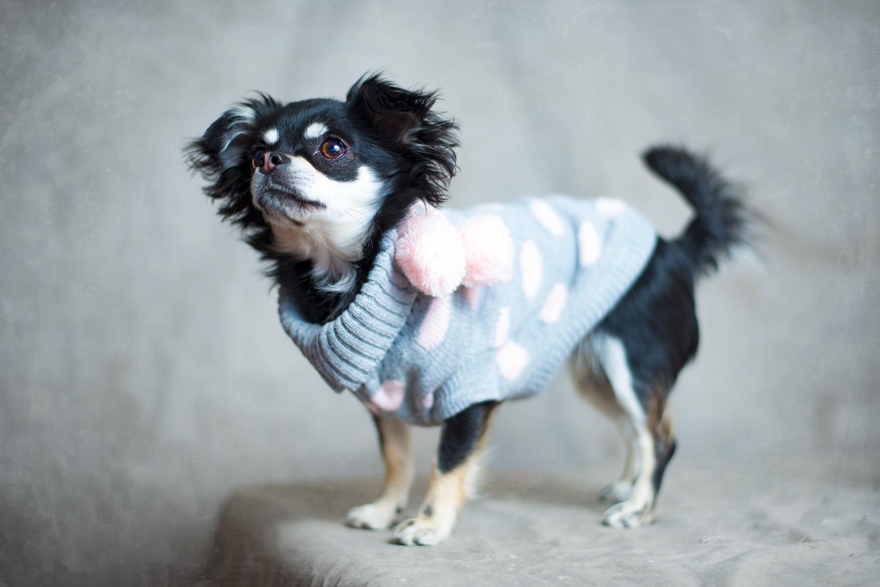 chihuahua-noticias-de-perros