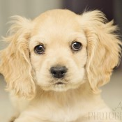 COCKER SPANIEL INGLES