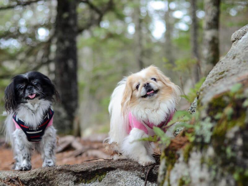 pequines-800x600 Noticias de perros - Inicio