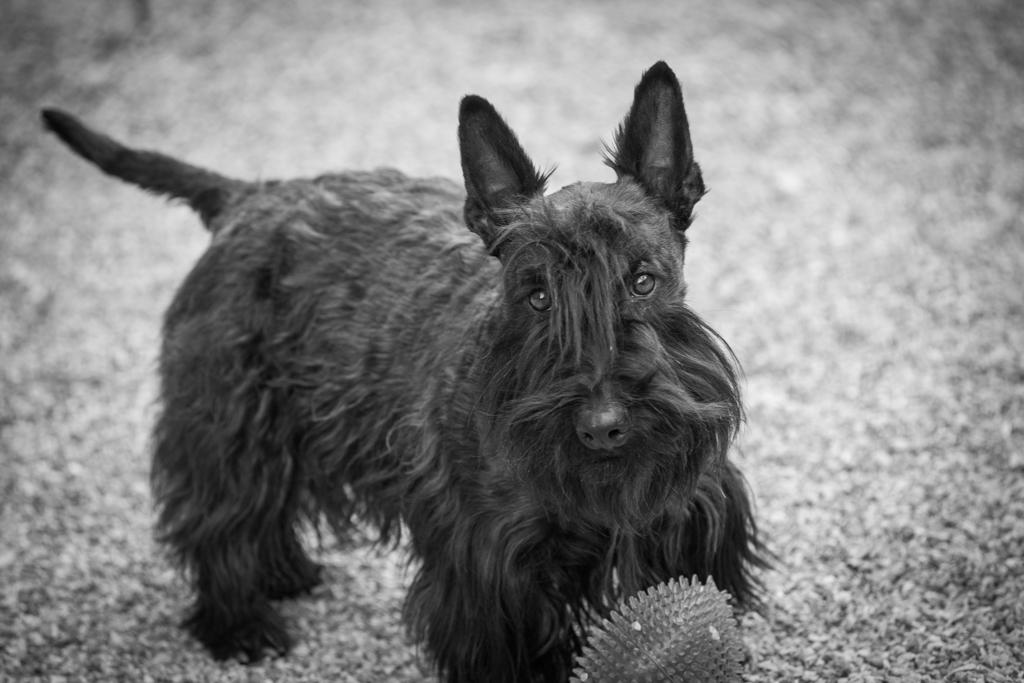 Terrier Escocés Perros Y Astrologia