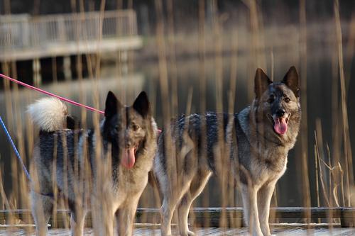 perro cazador de alces noruego.noticiasdeperros.com
