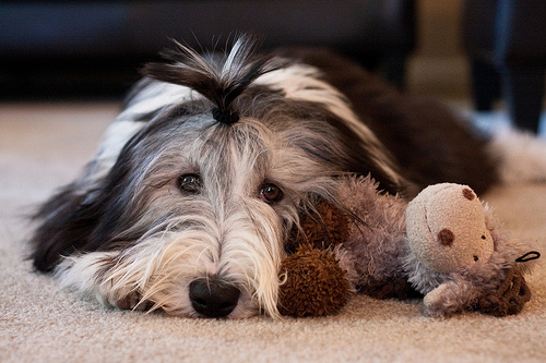 kurzkeks COLLIE BARBUDO (BEARDED COLLIE)