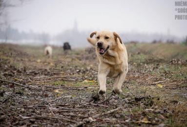 Noemi.D.Soos_.LabradorRetriever1-383x260 Noticias de perros - Inicio