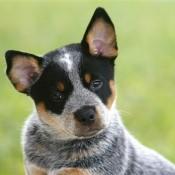 AUSTRALIAN CATTLE DOG - PASTOR GANADERO AUSTRALIANO