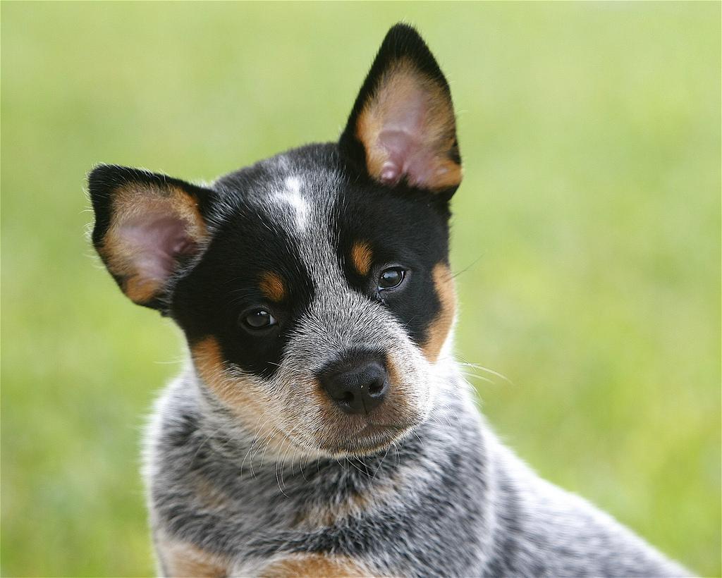 AUSTRALIAN CATTLE DOG ...