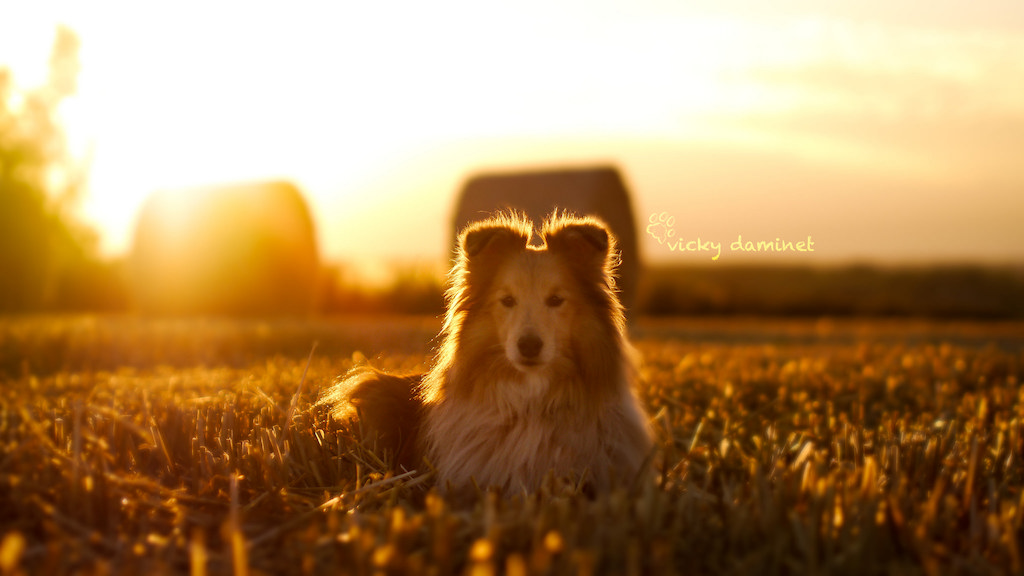 Fotografía cortesía de: Vicky D. https://www.flickr.com/photos/100300341@N04/22023846163/in/pool-shelties/