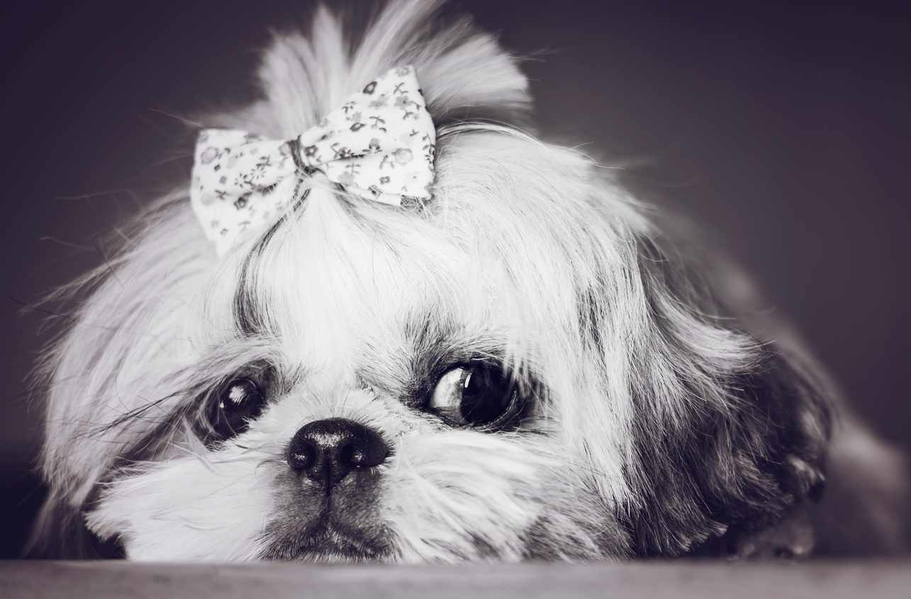 shih-tzu-noticias-de-perros