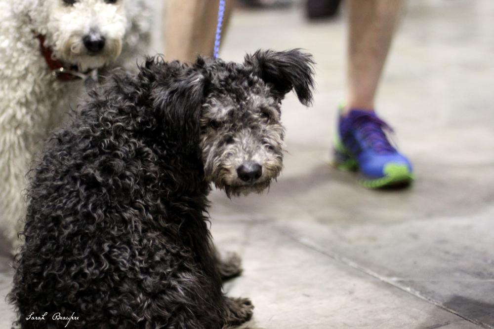 perro raza pumi