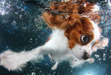 underwater-puppy-photography-seth-casteel-1-383x260 Noticias de perros - Inicio