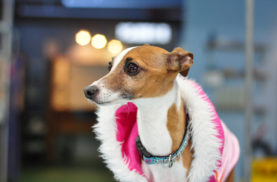 italiangreyhound