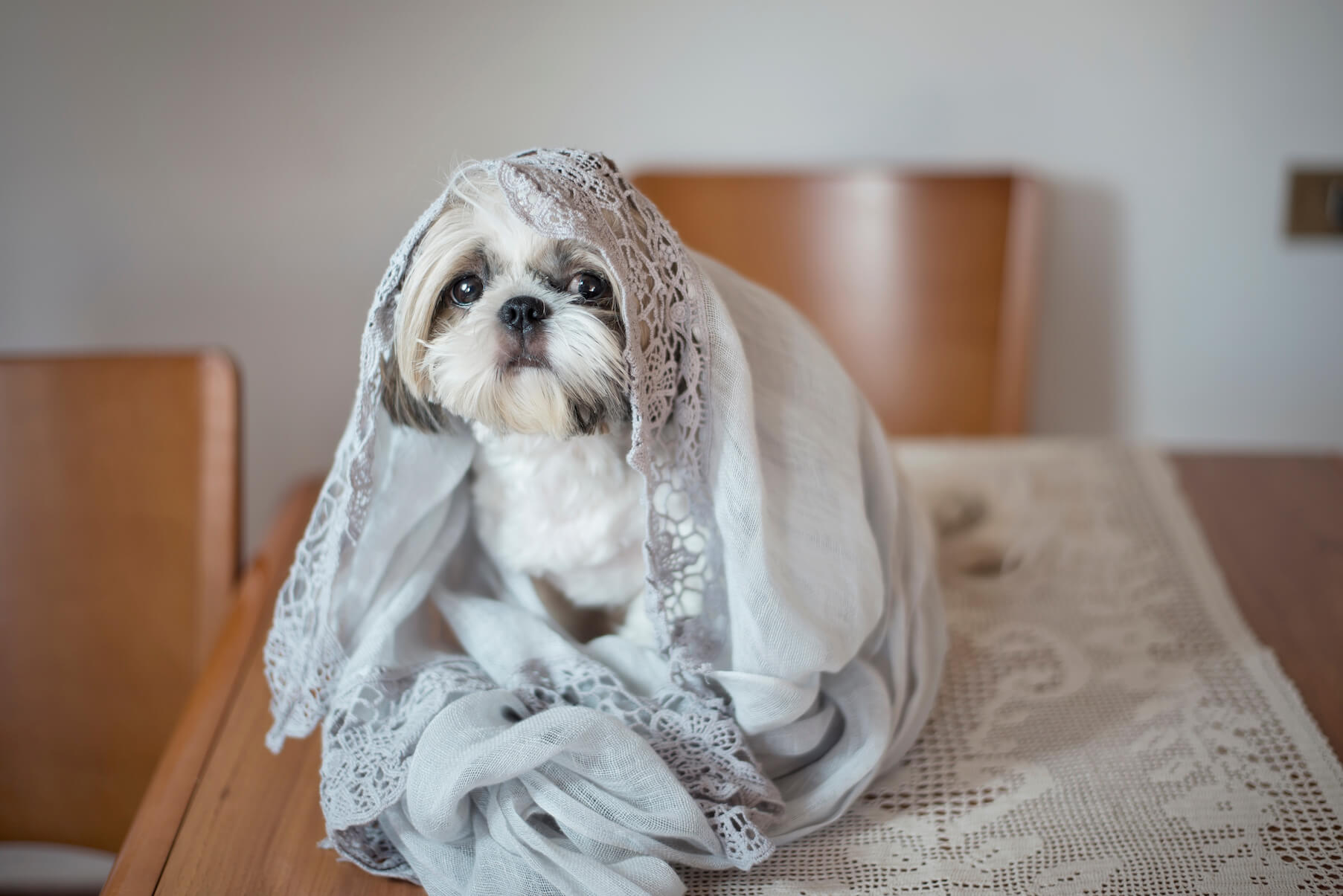 noticiasdeperros.shihtzu