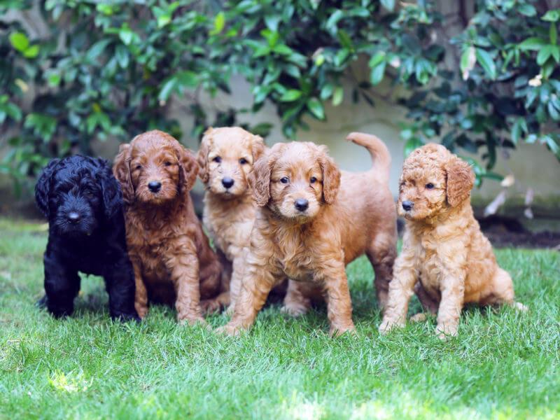 Cachorros-Labradoodle-australian-cobberdog-800x600 Noticias de perros - Inicio