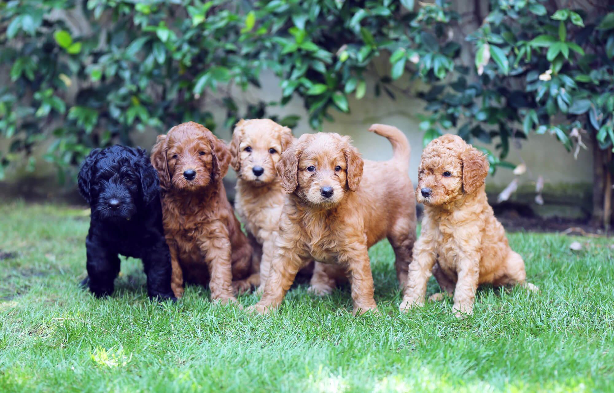 Cachorros-Labradoodle-australian-cobberdog Noticias de perros - Inicio
