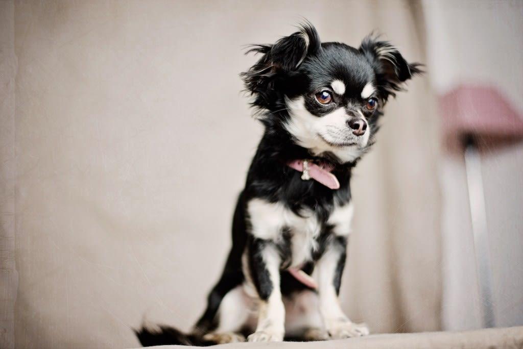 urolitiasis canina